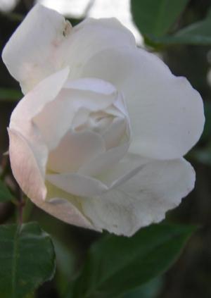 Rose blanche photographiée à Saint Eloi de Fourques, le 2 janvier 2012