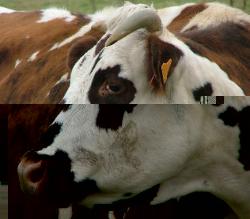 La vache normande, cette philosophe !